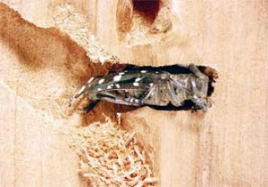 An Asian longhorned beetle chews through wood.