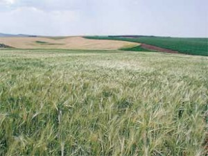 An Idaho field of low-phytate, hulless barley. Photo by Phil Bregitzer.