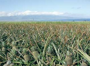 A field of pineapples in Maui, Hawaii. Photo by Tracie Matsumoto.