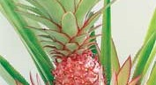 Pineapples: Preservation and Potential