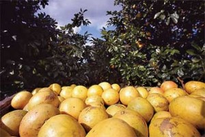 Recently harvested grapefruit. Photo by Keith Weller.