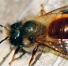 No flowers? No problem. UF study shows bees have other ways of finding sugar