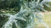 Fall in love with 'Patti Faye,' the most exquisite deodar cedar