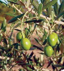 Florida-grown olive oil potential is limitless