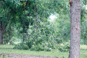 A limb broke off of a pecan tree in Tift County, Georgia, during Tropical Storm Irma.
