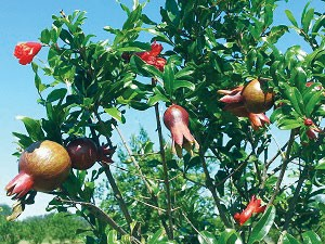 pomegranate-fruit-and-flowe