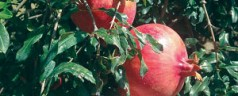 Research key to pomegranate success