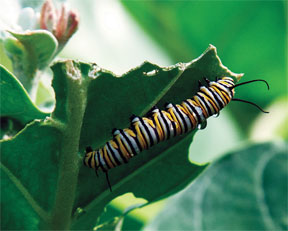 Even though the giant milkweed is from across the world, Native monarch butterflies will use it as a host plant.
