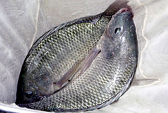 ARS scientists developed and evaluated tilapia that are resistant to bacteria that cause streptococcosis.