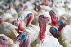 The economic impact of avian influenza on the poultry industry can be substantial. Photo by Stephen Ausmus.
