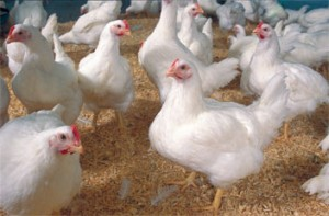 ARS is at the forefront of research on influenza viruses that infect poultry and other animals. (Stephen Ausmus)