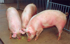 Scientists have learned that humanm influenza viruses can cross into pigs. (Scott Bauer)
