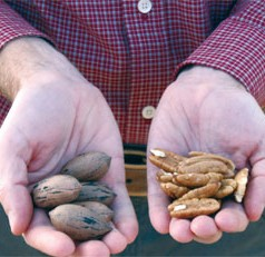 UGA Extension pecan specialist Lenny Wells optimistic about crop yields