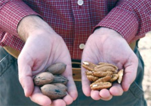 The pecan crop's development was ahead of schedule by about 10 days this year.