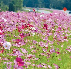 Old-fashioned cosmos are breathtaking along Georgia highways
