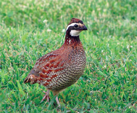 Northern bob white quail (Colinus virginianus), photographed by: Brian Stansberry.