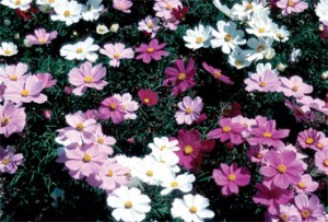 Sonata is a compact choice in cosmos as it grows to just 2 feet tall. Gardeners who like taller flowers should select Sensation cosmos, a 1938 All-America Selections Winner that reaches 4 to 5 feet in height.