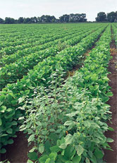 A Mississippi soybean field with glyphosate-resistant    amaranth weeds in the foreground. (Yanbo Huang)