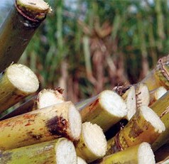 UF assistant professor wins national agronomy award for innovative sugarcane research