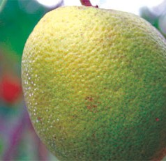 UF/IFAS researchers awarded $10.5M to work on citrus greening resistance or tolerance