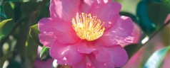 'Kanjiro' camellias are beautiful and attract pollinators like bees and butterflies.
