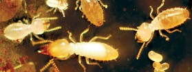 UF researchers work feverishly to manage south Florida's biggest threat: Invasive termites