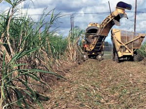 ARS scientists are finding uses for the solid plant waste that remains after sugarcane harvest and sugar extraction. (Isabel Lima)