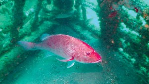 snapper red