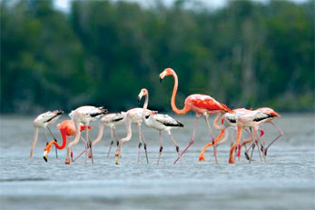 American Flamingos may be returning naturally to Florida after being extirpated over a century ago. Credit: J. Patterson
