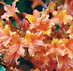 Native azaleas are very different from their traditional Southern cousins