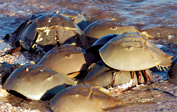 Mating horseshoe crabs. Photo by Connie Mier.