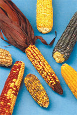 Crops Hold Onto Harmful Mutations That Reduce Productivity