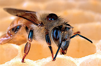 Varroa mites, like the one on the back of this honey bee, are the biggest problem facing honey bees today.