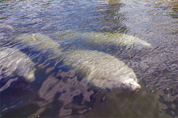 Chances of close encounters between Florida manatees and boaters increase in the spring.
