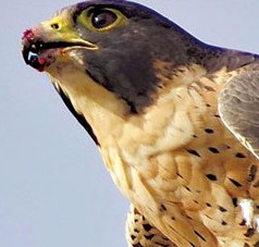 UF study: Peregrine Staying Closer to Home as Population Increases