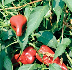 The poblano pepper, a spicier complement to the bell pepper