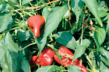 Juan Carlos Diaz-Perez, University of Georgia vegetable horticulturist, suggests that farmers add poblano peppers to their fields one to two weeks before planting bell peppers.