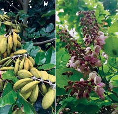 Is pongamia the next big replacement crops for citrus?