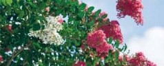 Beloved crape myrtle in nurseries now susceptible to bacterial leaf spot, researchers say.