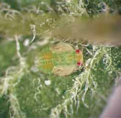 Potato Pest Dissected for Clues to Better Controlling It